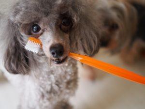 歯ブラシをくわえたプードルの画像