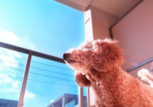 日向ぼっこをするトイプードルの画像