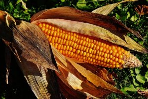 トウモロコシのイメージ画像